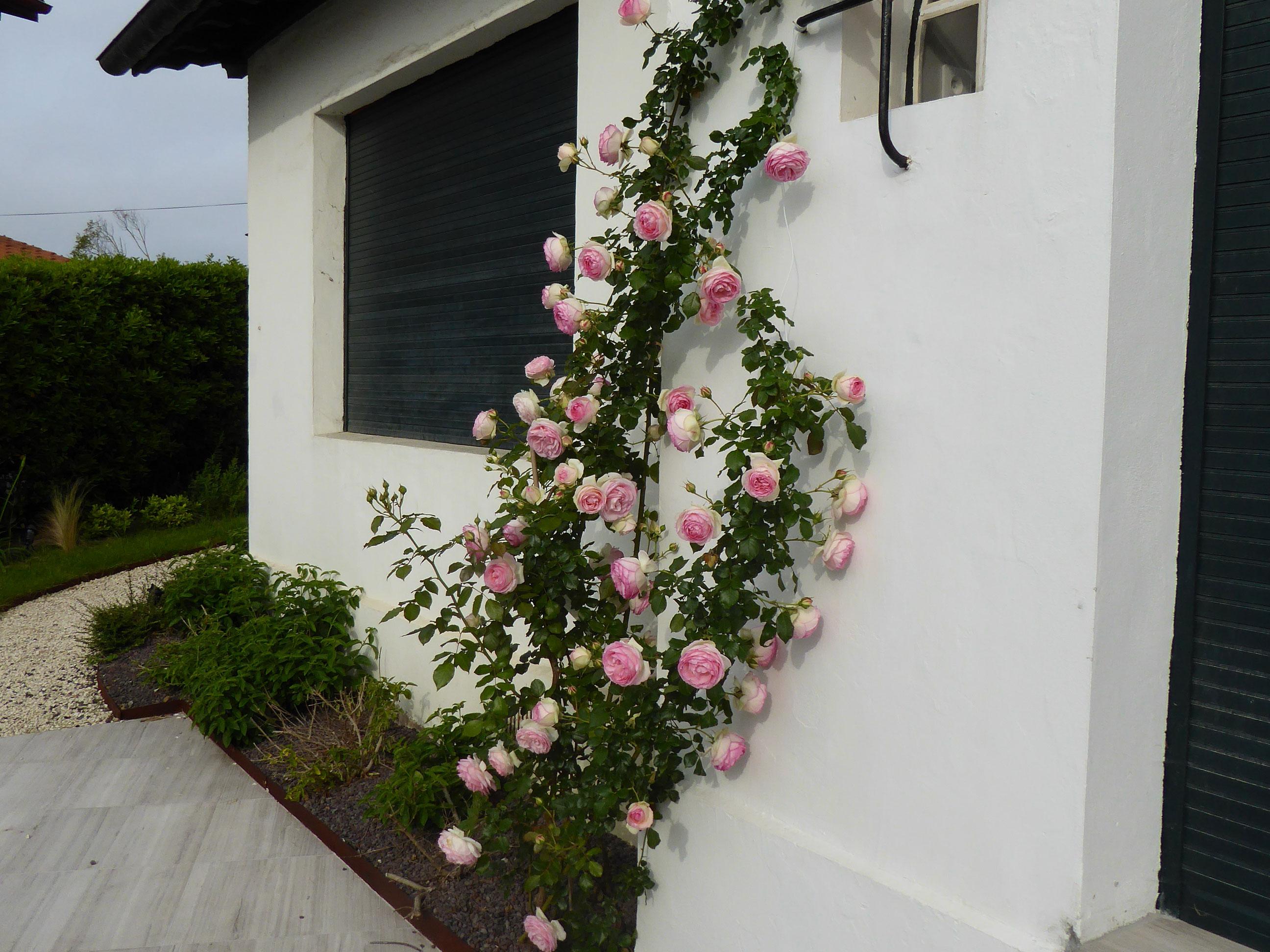 Floriparc rosier Pierre de Ronsard